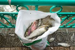 Mass dead fish taken out of polluted lake laying down on urban sidewalk.  Stock Photography