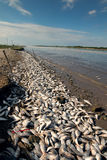 The mass death of fish in the state of Texas. The Colorado River Royalty Free Stock Images