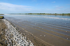 The mass death of fish in the state of Texas. The Colorado River Stock Photography