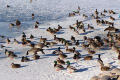 Mass of geese and ducks on frozen Wascana Lake Regina Saskatchewan Royalty Free Stock Images