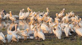 A Mass of Great White Pelicans Royalty Free Stock Images