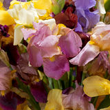 Mass of Iris flowers, detail. Many colours. Royalty Free Stock Photography