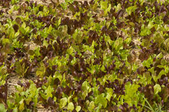 Mass of lettuce Royalty Free Stock Images
