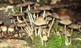 Mass of mushrooms clustered by a rotting log Royalty Free Stock Photography