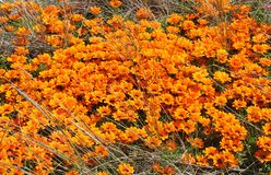 A mass of orange daisies growing wild in a meadow in New Zealand stock image
