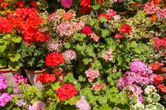 Pink, red and orange Pelargoniums in full flower royalty free stock photo