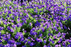 Mass of Petunias Stock Photography