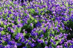 Mass of Petunias Stock Photography