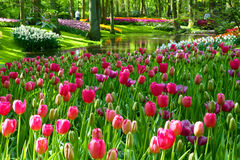 Mass planted tulips. Mass of tulips and daffodils, one of the many colorful displays of spring time bulb flowers in the world famous Keukenhof garden park in the stock image