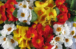 A mass of primulas. In full bloom - beautiful spring flowers stock photo