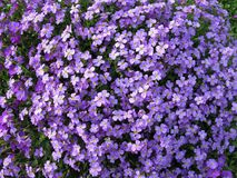 Mass of purple flowers Stock Image