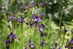 Mass of purple irises Stock Photography