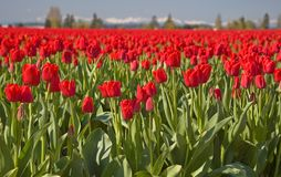 Mass Red Tulip Field in the Morning. This shot is a massive red tulip field in the morning with mountains and hazy sky in the background for a visually stunning Royalty Free Stock Photo
