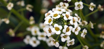 A Mass of Sweet Alyssum Stock Image