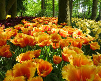 Mass of tulips. And daffodils, one of the many colorful displays of spring time bulb flowers in the world famous Keukenhof garden park in the Netherlands. The stock image