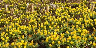 Mass of winter aconite Stock Images