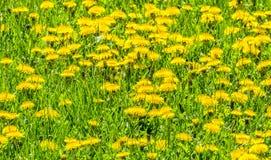 Massa het Planten van Paardebloemen op Gebied stock afbeelding