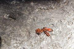 Massa's van firebug op een steen Royalty-vrije Stock Foto's