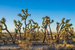 Massa Tangled de Joshua Trees Foto de Stock