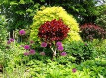 Massa van Aliums in een Engelse ommuurde tuin royalty-vrije stock afbeelding