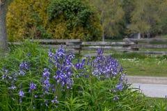 Massa van klokjes, houten omheining en bomen, Stanley Park, Vancou stock fotografie
