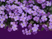 Massa van purpere bloemen van lobelia op een donkere purpere achtergrond, vrije ruimte voor tekst Royalty-vrije Stock Afbeelding