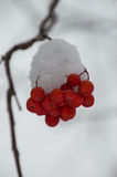 Massa van Sneeuw Behandelde Berg Ash Berries Against Gray Background Royalty-vrije Stock Afbeelding