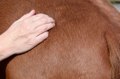 Massage de shiatsu de cheval Photos stock