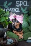 Massage och brunnsort, en hund i en turban av en handduk bland brunnsortomsorgobjekten och växter begrepp som ansar, tvättar sig  royaltyfria bilder