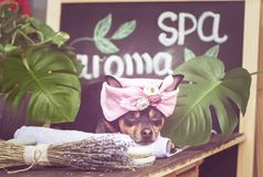 Massage and spa, a dog in a turban of a towel. Among the spa care items and plants. Funny concept grooming, washing and caring for animals royalty free stock photography