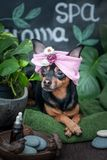 Massage and spa, a dog in a turban of a towel among the spa care items and plants.concept grooming, washing and caring for. Massage and spa, a dog in a turban of royalty free stock images