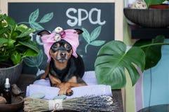 Massagem e termas, um cão em um turbante de uma toalha entre os artigos do cuidado dos termas e plantas Conceito engraçado que pr imagem de stock