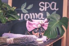 Massagem e termas, um cão em um turbante de uma toalha entre os artigos do cuidado dos termas e plantas Conceito engraçado que pr imagens de stock royalty free