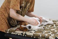 Massaggia per il cane Massaggio dell'animale domestico Immagini Stock