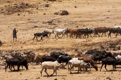 Massai boy driving his cow herd to water drinking royalty free stock photo