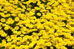 Massas de raios dourados Imagem de Stock Royalty Free