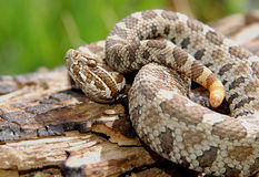 Massasauga Rattlesnake. Photograph of a Massasauga on a log royalty free stock photo