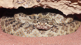 A Massasauga Rattler Coiled in its Den. A Massasauga Rattlesnake Coiled in its Sandy Den stock images