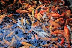 Masse der Goldfischschwimmens unter Oberfläche des Wassers im Pool draußen, Gruppe der Schulung von gekrähten Fischen stockbilder