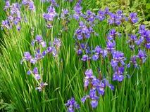 Masse der purpurroten Iris unter dünnen grünen Blättern lizenzfreie stockfotos