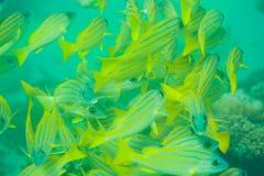 Masse der Seestangefische Stockbilder
