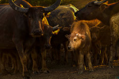Masse tailandesi del bufalo Fotografie Stock