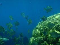 Masse von Batfish Stockbilder