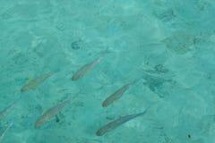 Masse von Fischen stockfotografie