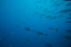 Masse von Fischen Lizenzfreies Stockfoto