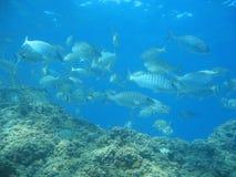 Masse von Fischen mit Felsen im Mittelmeer Stockfoto