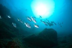 Masse von Fischen schwimmen zusammen, um Lebensmittel hinunter das Meer zu finden Lizenzfreie Stockfotos