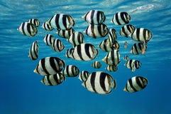 Masse von tropische Fische mit einem Band versehenen Butterflyfish Stockbilder