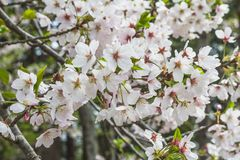 Masse von weißen Kirschblüten auf Baum in Japan Lizenzfreie Stockfotografie