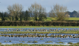 Massed birds on floods Stock Photography